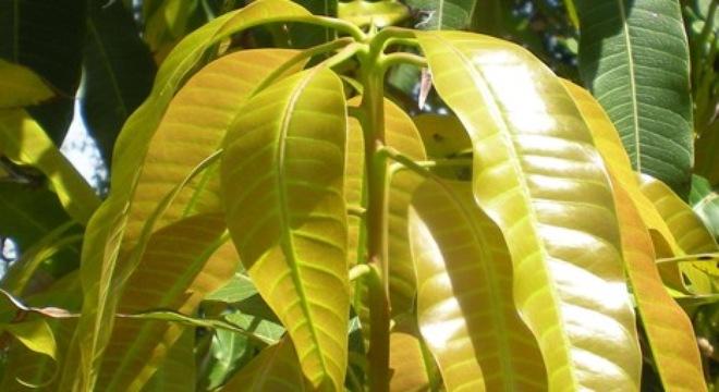 la-xoai-non-1426753724521-20-0-275-500-crop-1426753757241