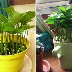 Tự tay trồng cây chanh làm cảnh